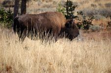 Free Buffalo In Yellowstone Royalty Free Stock Photo - 1815825