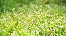 Free Morning Dew In Grass Royalty Free Stock Photos - 1817978
