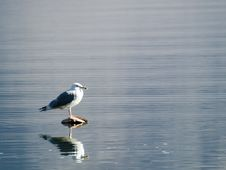 Free Gull Sitting In The Middle Of The Lake Stock Photography - 1818152