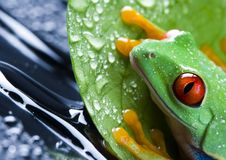 Free Red Eyed Leaf Frog Royalty Free Stock Images - 1818939