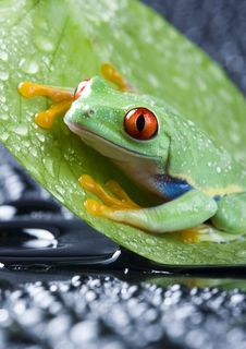 Red Eyed Frog Stock Images