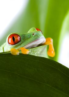 Free Red Eyed Leaf Frog Royalty Free Stock Images - 1819089
