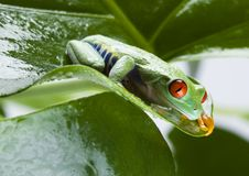 Frog On The Leaf Royalty Free Stock Images