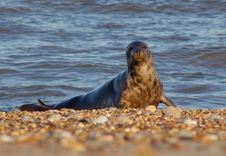 Free Sleeping Seal Stock Photos - 1819793