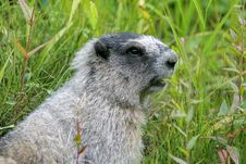 Free Marmot Stock Photos - 1819823