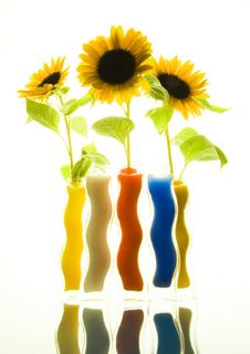 Free Helianthus Royalty Free Stock Photography - 1819897