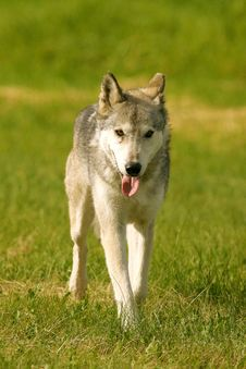 Free Grey Wolf Royalty Free Stock Photography - 1819907