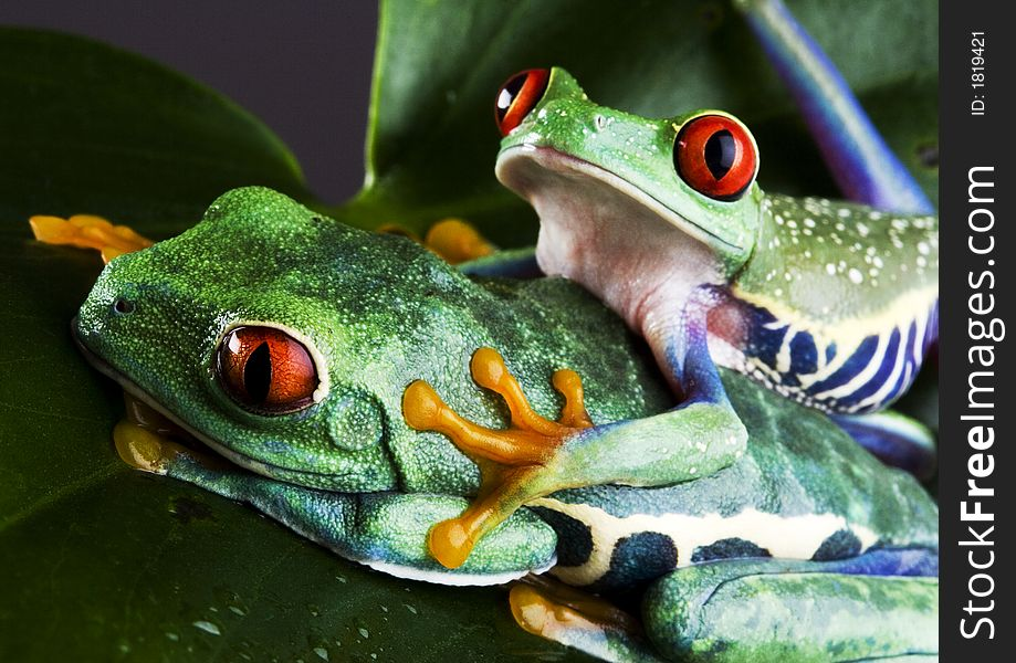 Two frog