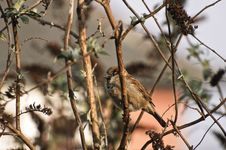 Free House Sparrow Royalty Free Stock Image - 18100816