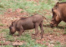 Free Young Warthog Stock Image - 18101501