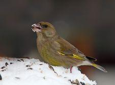 Greenfinch - Carduelis Chloris Stock Photos