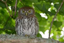 Free Owlet 1 Stock Photography - 18102972