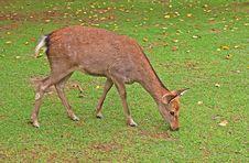 Free Deer Royalty Free Stock Photo - 18104135