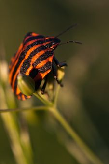 Free Striped Shield Bug Stock Image - 18104381