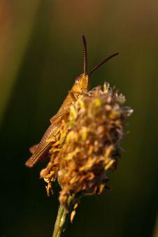 Free Grasshopper Stock Photo - 18104560