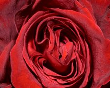 Free Wine Red Rose Texture Royalty Free Stock Photography - 18105717
