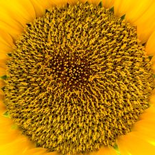 Free Yellow Sunflower Royalty Free Stock Image - 18105816