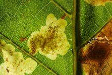 Free Horse Chestnut Leaf Miner Stock Photography - 18106392