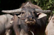 Free Buffalo Thai Royalty Free Stock Photography - 18109677