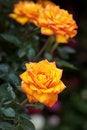 Free Orange Rose Royalty Free Stock Image - 18118546