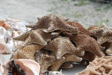 Free Dried Starfish Royalty Free Stock Image - 18110156
