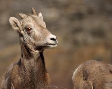 Free BigHorn Sheep Royalty Free Stock Images - 18110349