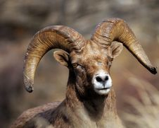 Free BigHorn Sheep Stock Photography - 18110352