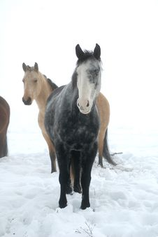 Free Wintery Horses Stock Photography - 18110402