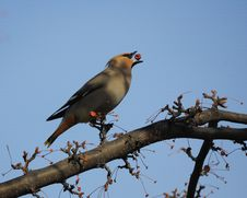Free Waxwing And Berries Royalty Free Stock Images - 18110419