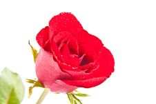 Free Red Rose Isolated On White Background Stock Photos - 18110503