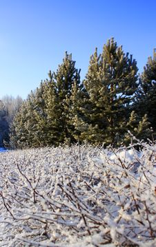 Free Snowy Trees And Clear Blue Sky Stock Images - 18111044