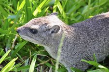 Free Marmot In Grass Royalty Free Stock Photos - 18113808