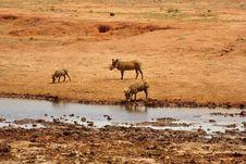Free Warthogs Drinking Stock Photos - 18113913