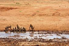 Free Warthogs Drinking Royalty Free Stock Images - 18113929