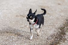 Free Chihuahua Stock Photo - 18115140