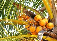 Free Bunch Of Coconuts On The Tree Royalty Free Stock Photography - 18115557