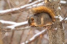 Free Fox Squirrel, Sciurus Niger Stock Photo - 18116050