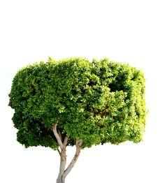 Free Isolated Tree Royalty Free Stock Image - 18117656