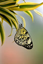 Free Tree Nymph Butterfly Royalty Free Stock Photo - 18120505
