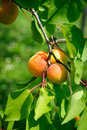 Free Some Ripe Apricots Royalty Free Stock Image - 18123016