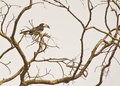 Free The African Pied Hornbill Royalty Free Stock Image - 18124316