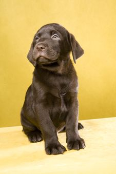 Brown Labrador Puppy Royalty Free Stock Image