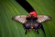 Free Asian Swallowtail Butterfly Royalty Free Stock Image - 18120376