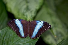 Achilles Morpho Butterfly Royalty Free Stock Image