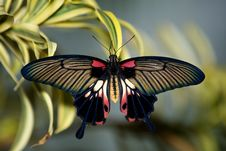 Free Asian Swallowtail Butterfly Stock Images - 18120474