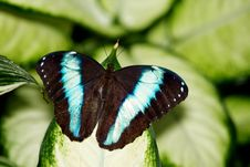 Achilles Morpho Butterfly Royalty Free Stock Images