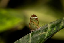 Free Glasswing Butterfly Royalty Free Stock Photos - 18120618