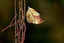 Free Indian Leafwing Butterfly Royalty Free Stock Photography - 18120667