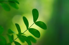 Free Green Acacia Leaves In Summer Stock Photo - 18123080