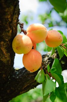 Free Bunch Of Ripe Apricots Royalty Free Stock Photography - 18123287